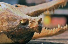 Alligator snapping turtle skull
