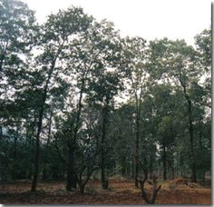 THEN AND NOW: RED SANDALWOOD TREE