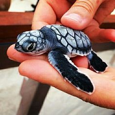Best photos, images, and pictures gallery about baby sea turtle - sea turtle facts. Baby Animals Pictures, Cute Animal Pictures, Animals And Pets, Baby Sea Turtles, Cute Turtles, Turtle Baby, Small Turtles, Pet Turtle, Tiny Turtle