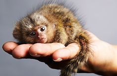 InFacts Hub: Facts About World's Smallest Monkey Pygmy Marmoset...