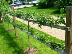 Just pruned the apple espalier fence, end of June (should be done closer to end of July , but they were very long) is part of Espalier fruit trees Just pruned the apple espalier fence, end of June ( - Potager Garden, Garden Trellis, Fruit Garden, Edible Garden, Vegetable Garden, Garden Ideas Nz, Garden Projects, Garden Inspiration, Espalier Fruit Trees