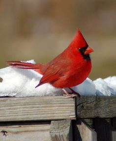 images of cardinals in winter | cardinal in winter | Flickr - Photo Sharing!