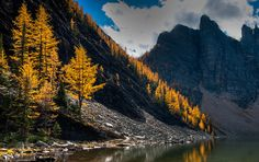 The fall colour of Larch trees at Lake Agnes in Banff National Park, Alberta, Canada.