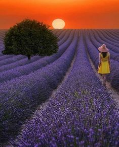 Lavandes Angelvin, Valensole, Provence, France, Lavender, Flower, Purple, Summer, Rural Scene