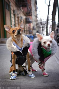Chihuahua is considered to be one of the most stylish breeds. Cute Chihuahua, Chihuahua Puppies, Cute Puppies, Cute Dogs, Dogs And Puppies, Chihuahuas, Baby Animals, Funny Animals, Cute Animals