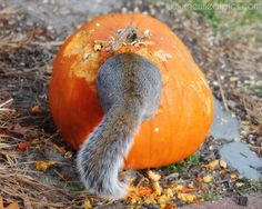 Squirrel In a Pumpkin humorous photograph - affordable Nature Photography | Beach Photography | Botanical Prints & More for your Home & Office by NewLeafPics