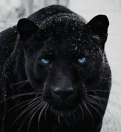 Panther Pictures, Tiger Pictures, Majestic Animals, Animals Beautiful, Black Jaguar Animal, Black Panther Cat, Wild Animal Wallpaper, Wild Animals Photography, Wild Photography