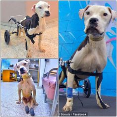 DOLLY HEROES A paralyzed and starving dog found dragging himself through the streets of Mexico was given a second chance. He has a new life thanks to the loving care he received! ❤ Dolly