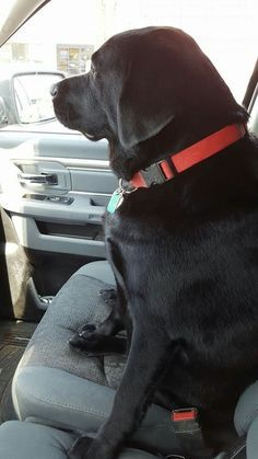 Mind Blowing Facts About Labrador Retrievers And Ideas. Amazing Facts About Labrador Retrievers And Ideas. Black Labs, Black Labrador, Golden Labrador, I Love Dogs, Cute Dogs, Sweet Dogs, Homeless Dogs, Most Popular Dog Breeds, Labrador Retriever Dog