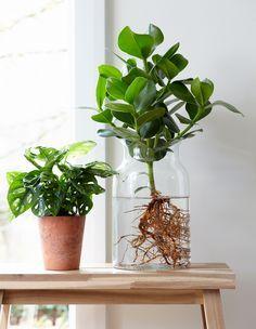 Clusia in Wasser für Esstisch Hydroponic Farming, Hydroponic Plants, Hydroponic Growing, Growing Plants, Clusia, Water Plants Indoor, Plant In Water, Diy Hydroponik, Belle Plante