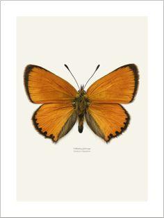 20x30 cm. 175.00 kr / 30x40 cm. 250.00 kr / 40x50 cm. 450.00 kr Butterflies: Liljenbergs. Gold Wing