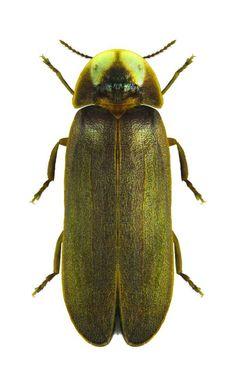 Lamprohiza splendidula Lampyridae