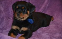 Blue Male #pachecorottweilers #puppylove #rottielove #familydog #cute #puppy