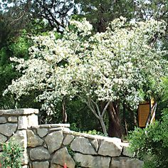 Anacacho Orchid Tree   AustinTexas.gov - The Official Website of the City of Austin