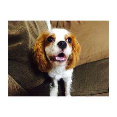🐶 #キャバリアキングチャールズスパニエル  #キャバリア #ブレンハイム  #キャバリア部  #いぬすたぐらむ #犬 #愛犬  #itsacavthing#cavlife #cavalier #ckcs#cavlove #cavalierkingcharlesspaniel  #cavaliercommunity #instadog #dog #doggy #doglover #lovedog #doglife  #petstagram #pet  #cute #cutedog #mydog  #puppy #pup #happydog #dogs_of_insta