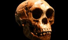 "Image: Homo floresiensis skull, American Museum of Natural History.  Scientists have proposed that the most recently discovered ancient human relatives — the Denisovans — somehow managed to cross one of the world's most prominent marine barriers in Indonesia, the ""Wallace Line"", and later interbred with modern humans moving through the area on the way to Australia and New Guinea."
