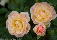 Oso Easy® Honey Bun - Landscape Rose - Rosa x   Proven Winners