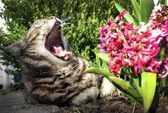 A cat yawns in a flower garden in Duesseldorf, Germany on April 8.