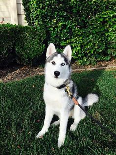 Cameron Dallas Husky Dog Name