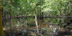 El mangle es un tipo de bosque que protegen las costas, purifica el agua y son una despensa de alimentos y recursos.