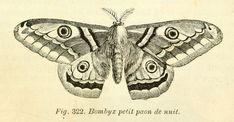dessins scolaires zoologie - Dessins scolaires zoologie 469 bombyx petit paon de nuit - Gravures, illustrations, dessins, images