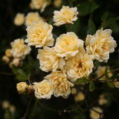 Garden mini roses