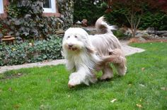 Ginger the bearded collie struts around with her ball.