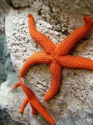 Orange starfish as an accent color for light aqua and sand/light khaki room