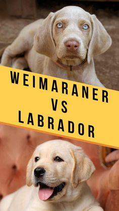 weimaraner vs labrador Labrador Breed, Weimaraner Puppies, Labrador Mix, Corgi Puppies, Black Labrador, Labrador Retriever, Best Dogs For Families, Family Dogs, Miss My Dog