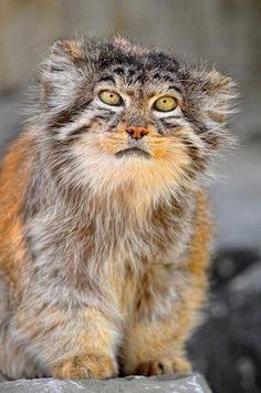 ✯ A Manul (via Green Renaissance): About twelve million years ago the manul was one of the first two modern cats to evolve and it hasn't changed since. It's a small wild cat having a broad but patchy distribution in the grasslands and montane steppe of Central Asia. The species is negatively impacted by habitat degradation, prey base decline, and hunting, and has therefore been classified as Near Threatened by IUCN.✯