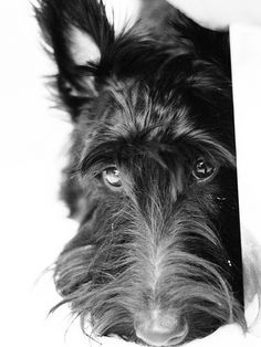 our sweet Scottish Terrier! Lovely Eyes, Beautiful Dogs, Animals Beautiful, Cute Animals, Love My Dog, Baby Dogs, Pet Dogs, Dog Cat, Doggies