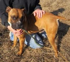 Boomer is an adoptable Boxer Dog in Fort Washington, PA. Boomer brings the 'boxer' back into the Boxer breed. This fun, playful fellow loves delivering gentle paw pats as he easily meets new dogs for ...