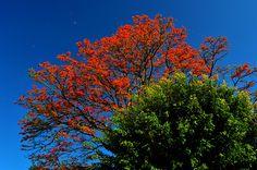 Poró Gigante (o extranjero). Erythina poeppigiana. La mayoría de los árboles anaranjados que se ven en el Valle Central son de esta especie. Es una especie originaria de Sudamérica (hasta Panamá) que se introdujo en el siglo XIX para dar sombra al café y también como fijador de nitrógeno. Muchos de los árboles que vemos son remanentes de cafetales, que ahora son parques o áreas de vivienda. Florece de Diciembre a Marzo - COSTA RICA.