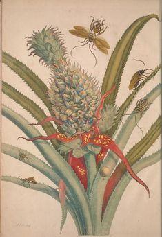 1705 - Metamorphosis insectorum surinamensium.  -   by Merian, Maria Sibylla, 1647-1717