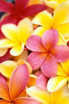 Plumeria/Frangipani used for leii flowers. When I lived on the big island of Hawaii the public parks and downtown roads were planted with plumeria everywhere Tropical Flowers, Flowers Nature, Hawaiian Flowers, Exotic Flowers, Colorful Flowers, Purple Flowers, Spring Flowers, Dried Flowers, Flores Plumeria