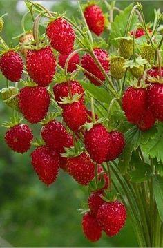 Fruit Plants, Fruit Garden, Fruit Trees, Beautiful Fruits, Beautiful Gardens, Beautiful Flowers, Fruit And Veg, Fresh Fruit, Fruit Picture