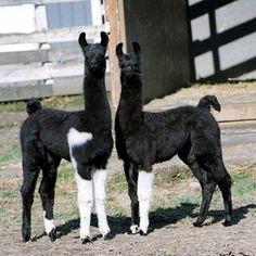 Pretty Llamas