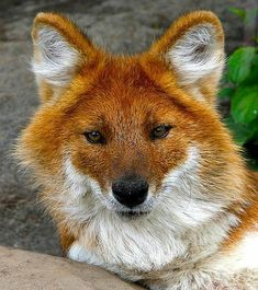 The Asian wild dog or Dhole (Cuon alpinus) is a beautiful, large member of the Canidae family. The dhole is found in a variety of vegetation...