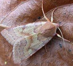 The Moths of Suffolk - 2265 Flounced Chestnut, Agrochola helvola, (Linnaeus, Linnaeus, Moth, Butterflies, British, Beauty, Butterfly, Beauty Illustration