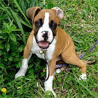 Cat Training Biting Stop Boxer Puppy Biting How To Train A