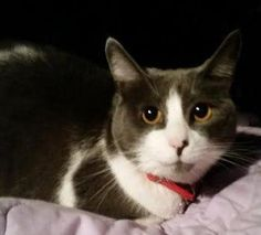 Meet Nyah - Merced, CA, an adoptable Javanese looking for a forever home. If you're looking for a new pet to adopt or want information on how to get involved with adoptable pets, Petfinder.com is a great resource.