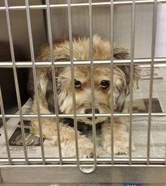 MUNECA is so special and at 14 years old, she does not want to be in the shelter. Please SHARE this beauty, a FOSTER would save her sweet life. Thanks! #A4801413 My name is Muneca and I'm an approximately 14 year old female maltese. I am already spayed. https://www.facebook.com/171850219654287/photos/pb.171850219654287.-2207520000.1424377608./373247169514590/?type=3&theater