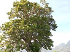 #arbol #tree #naturaleza #nature #grande #big #hojas #leafs #verde #green #montañas #mountains