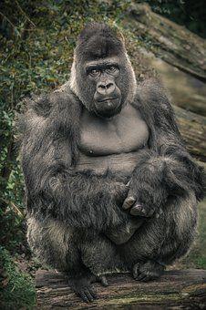 Gorila, Opice, Lidoop, Zoo