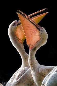 American White Pelican by Jeffrey Van Daele on 500px