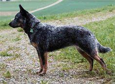 Australian Cattle dog profile on Dog Encyclopedia