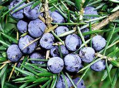Juniperus communis (Ginepro comune)