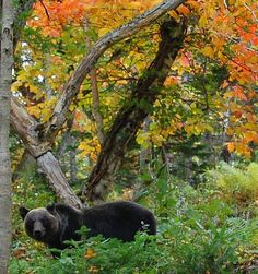 Hokkaido Japan bear   Francois Japan Blog: Bears in Hokkaido