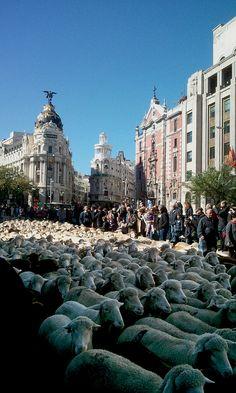 Dos mil ovejas en las calles de Madrid | 2014