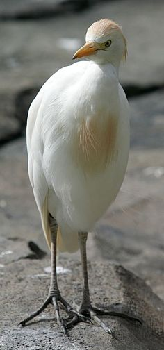 The cattle egret (Bubulcus ibis) is a cosmopolitan species of heron (family Ardeidae) found in the tropics, subtropics and warm temperate zones. It is the only member of the monotypic genus Bubulcus, although some authorities regard its two subspecies as full species, the western cattle egret and the eastern cattle egret. Despite the similarities in plumage to the egrets of the genus Egretta, it is more closely related to the herons of Ardea. Originally native to parts of Asia, Africa and…